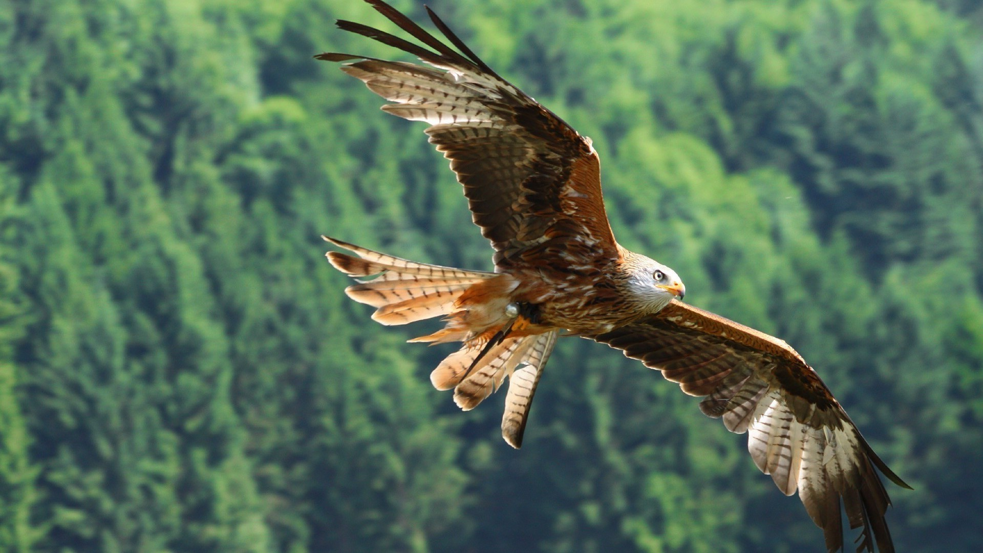Hawk In Flight IPhone Wallpapers For Free