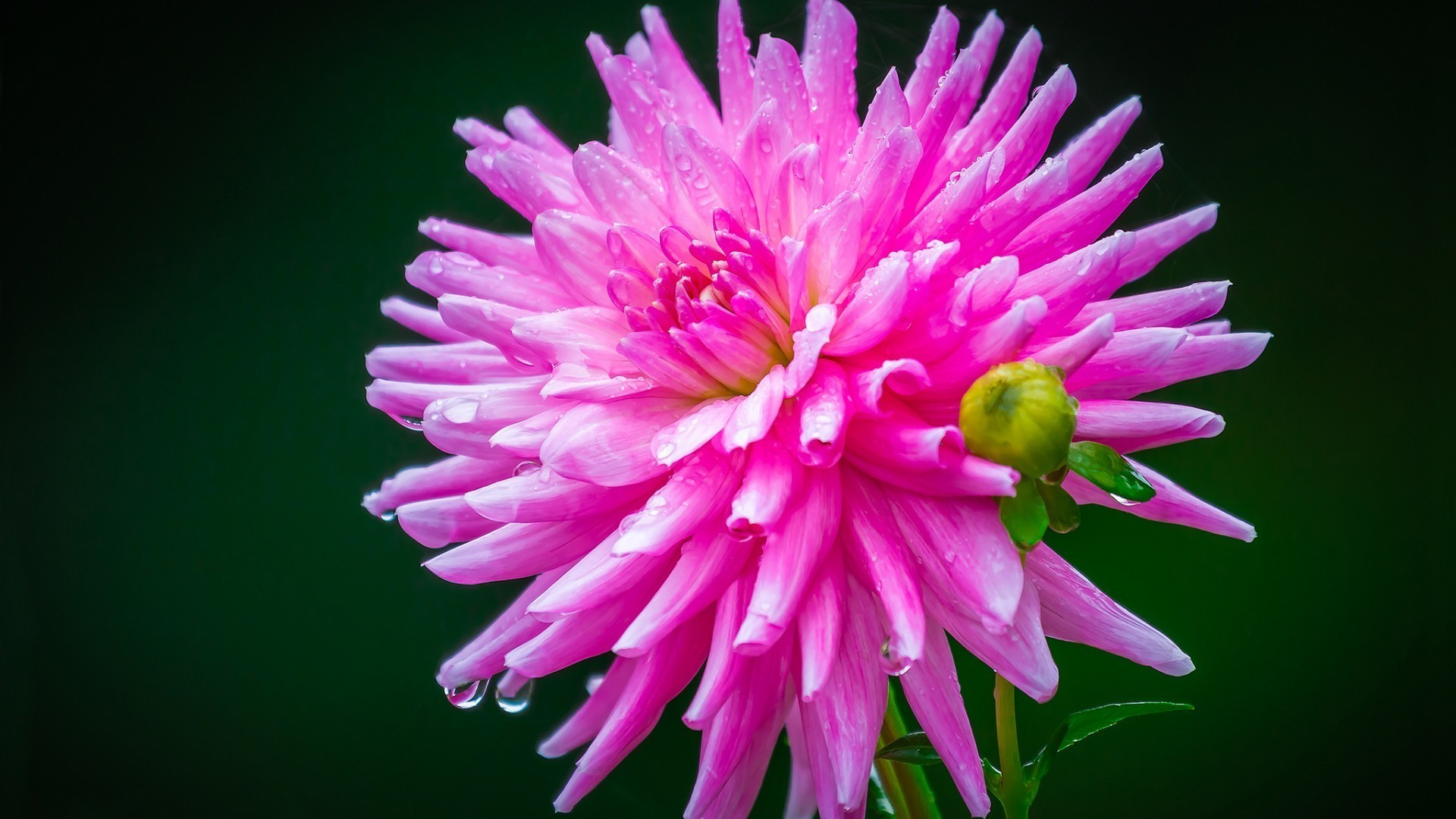 Pink Flower Iphone Wallpapers For Free