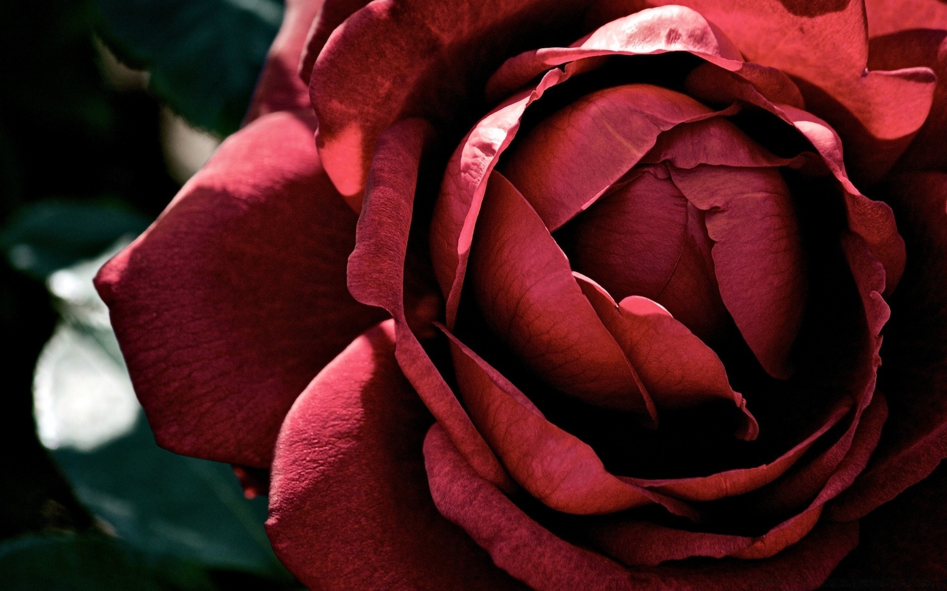 Beautiful Dark Red Rose Android Wallpapers For Free