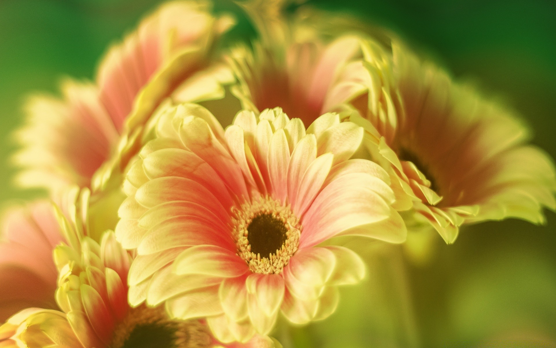 gerbera daisy bouquet. iphone wallpapers for free.