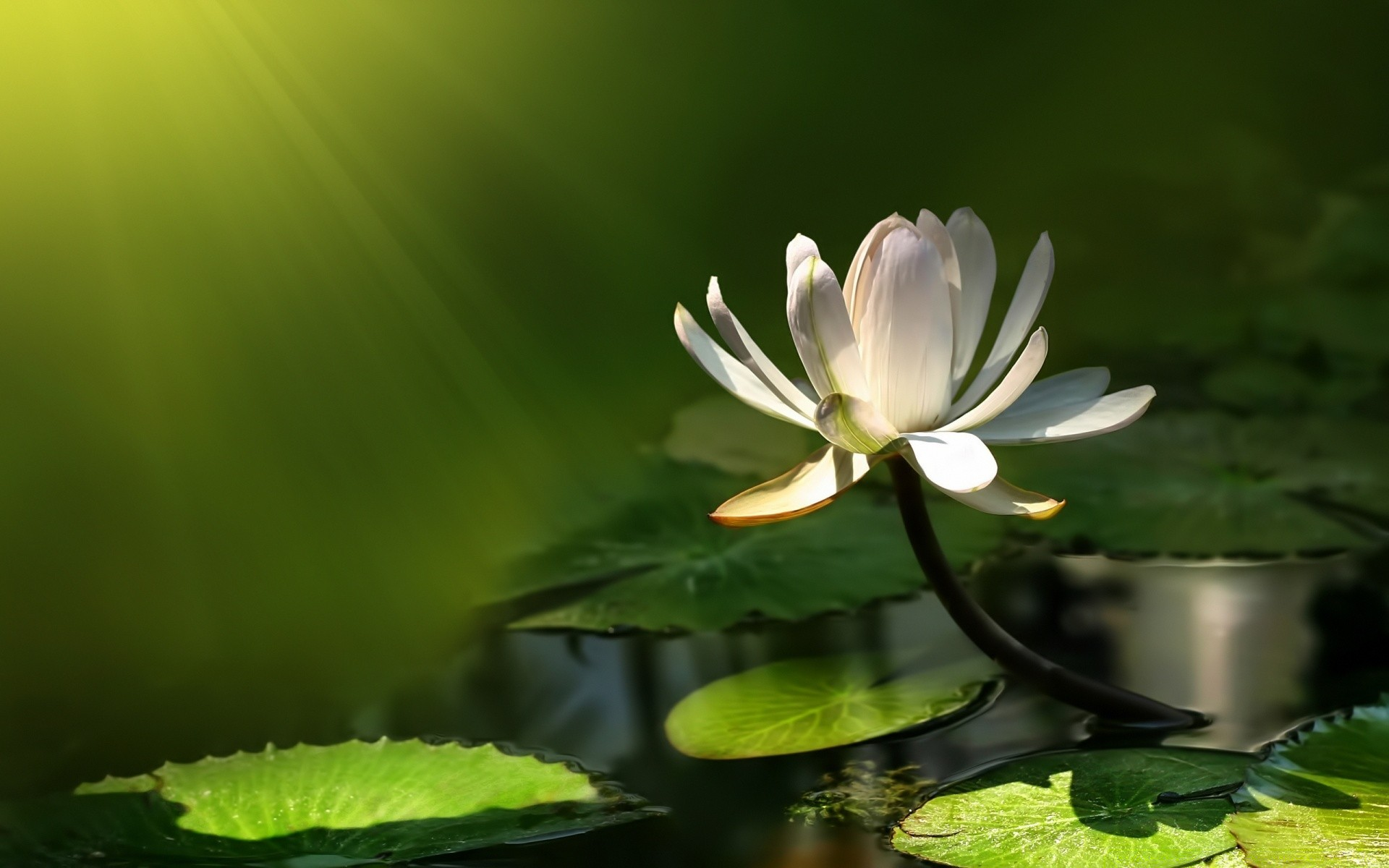 White Lotus Flower Android Wallpapers For Free