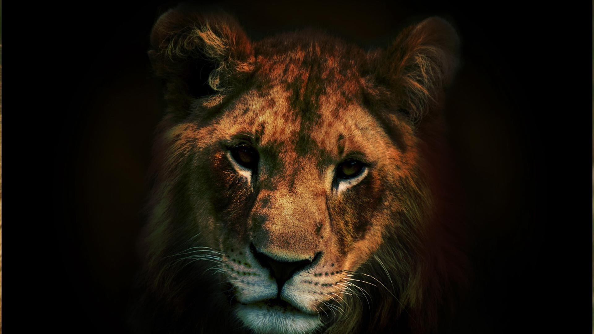 lions cat wildlife portrait mammal lion eye predator zoo animal hunter safari