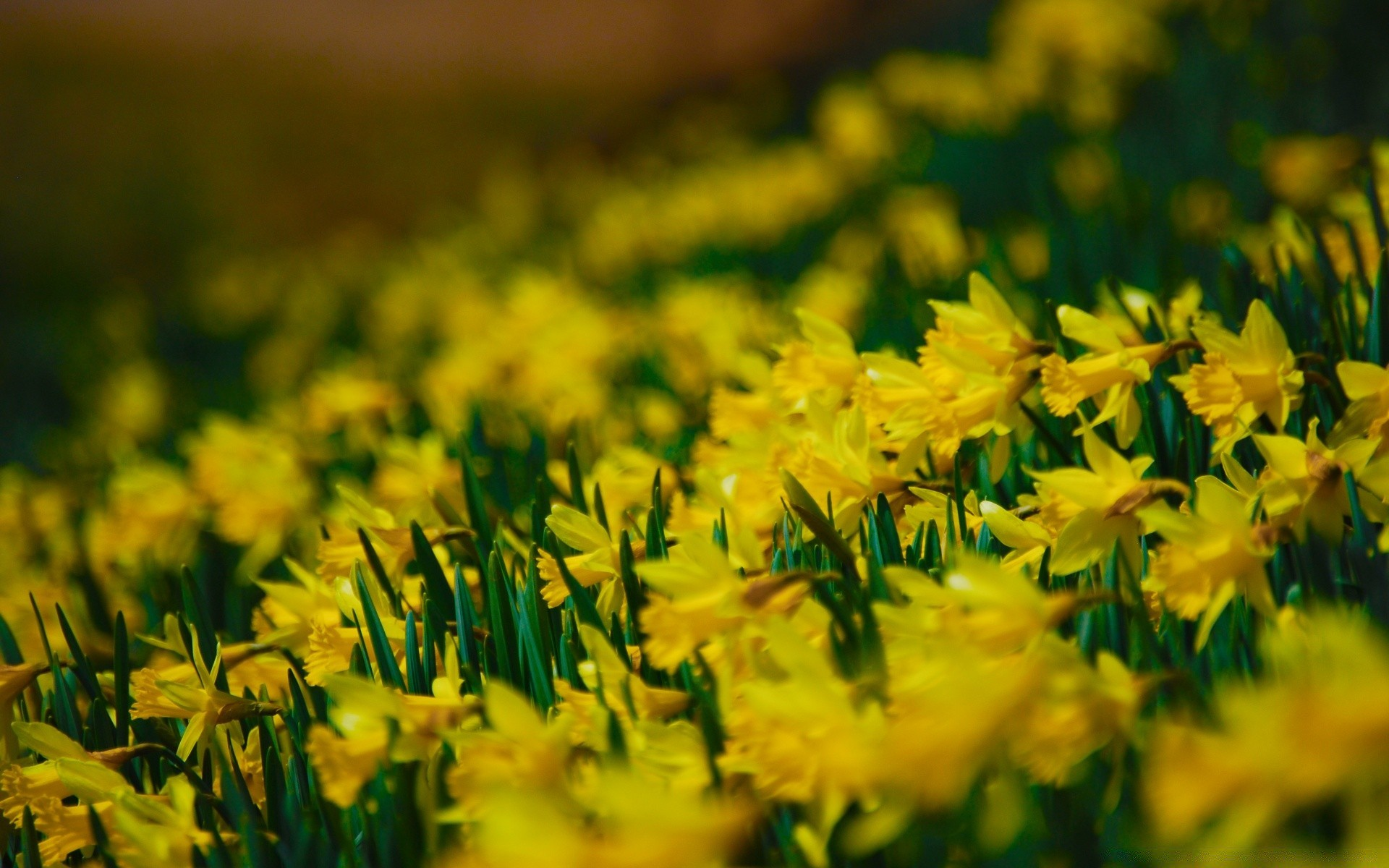 yellow daffodils. android wallpapers for free.
