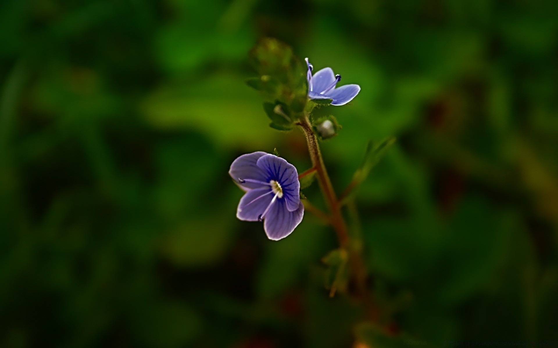 Small blue flower android wallpapers for free izmirmasajfo