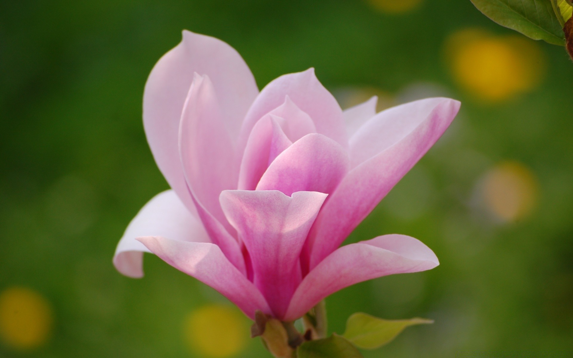 Pink Magnolia Flower Free Wallpapers