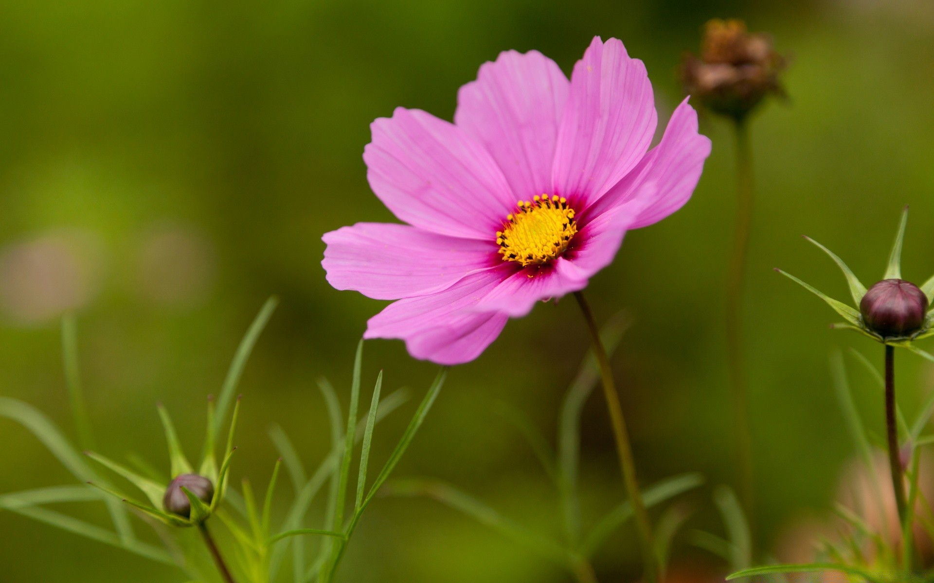 Pink cosmos flower android wallpapers for free mightylinksfo