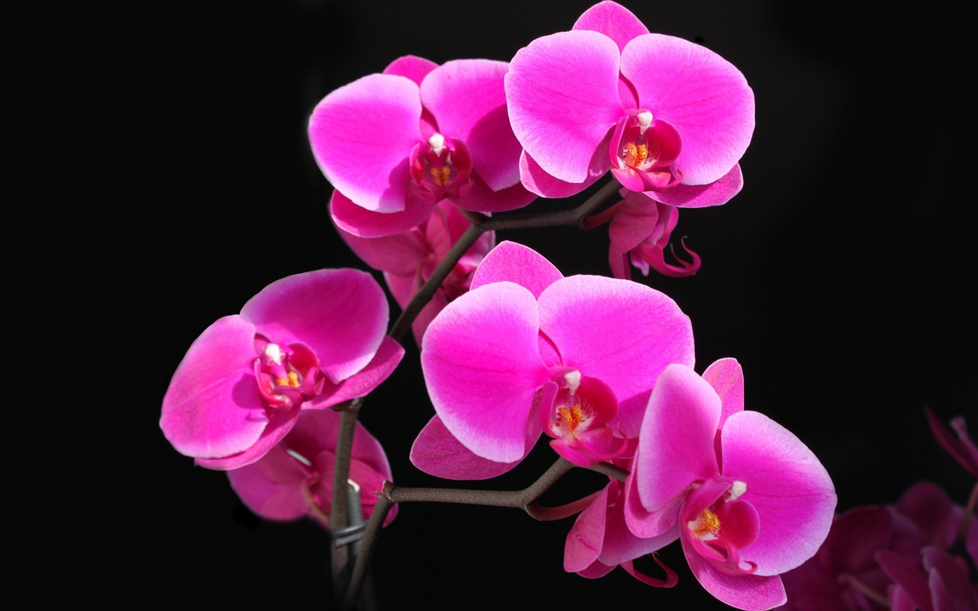 Beautiful Pink Orchid Android Wallpapers