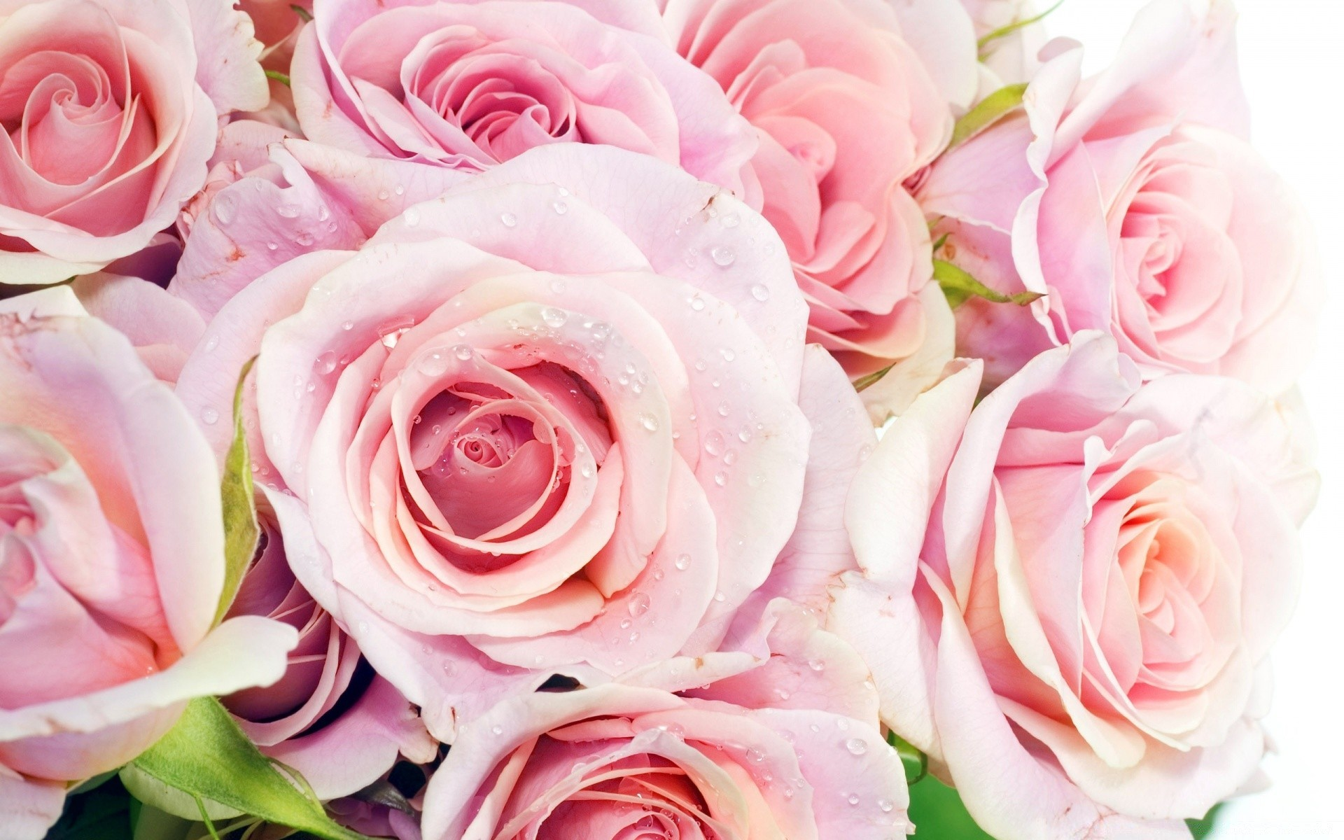 Pink Roses IPhone Wallpapers For Free