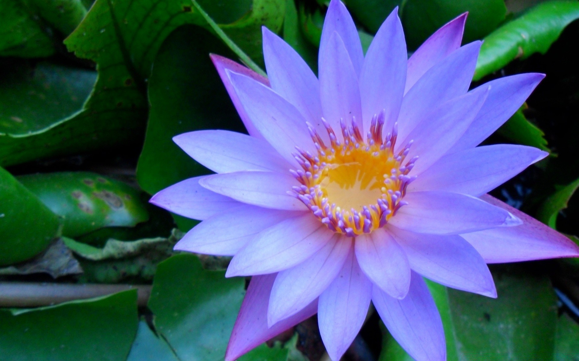 Cape blue water lily android wallpapers for free izmirmasajfo