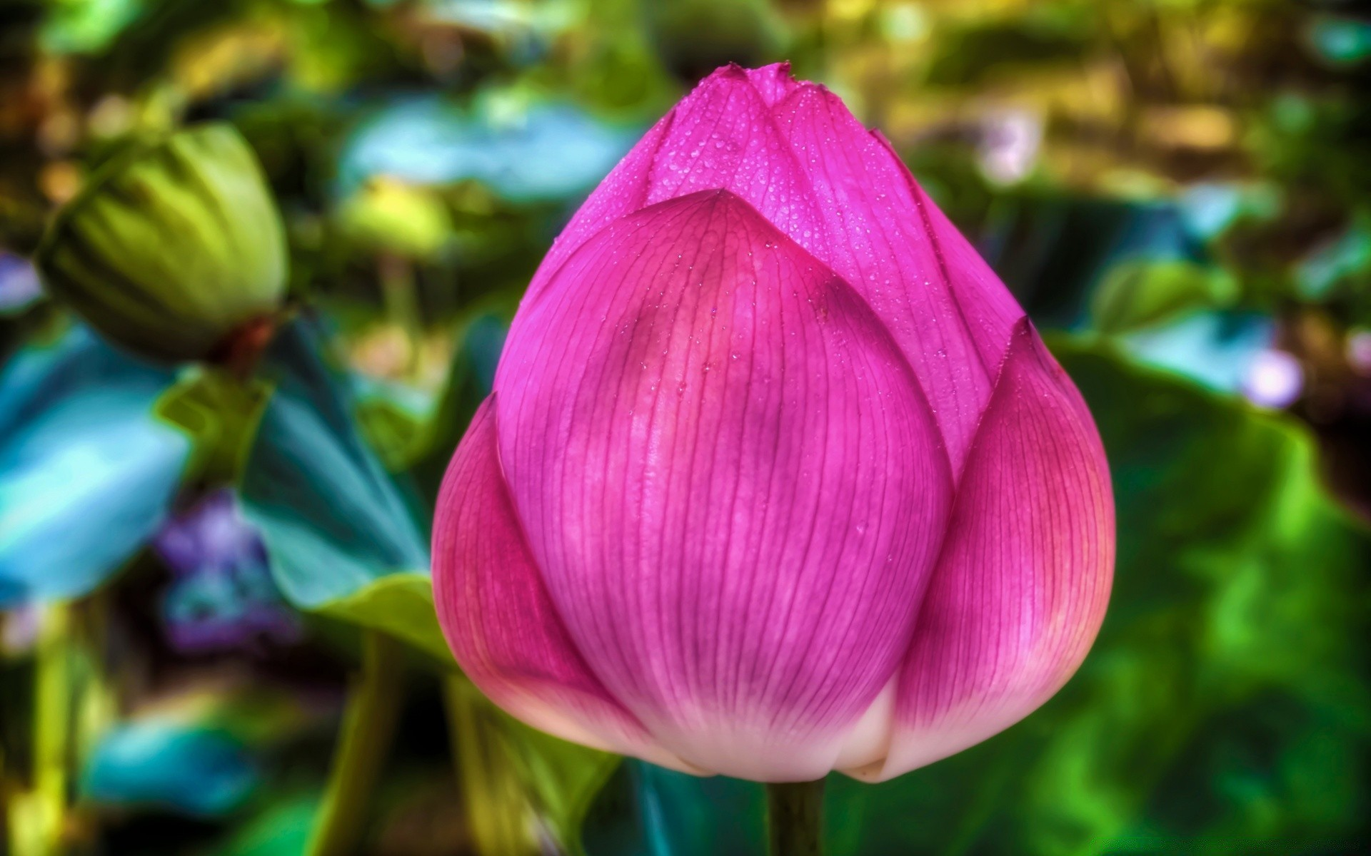 Lotus Flower Android Wallpapers For Free