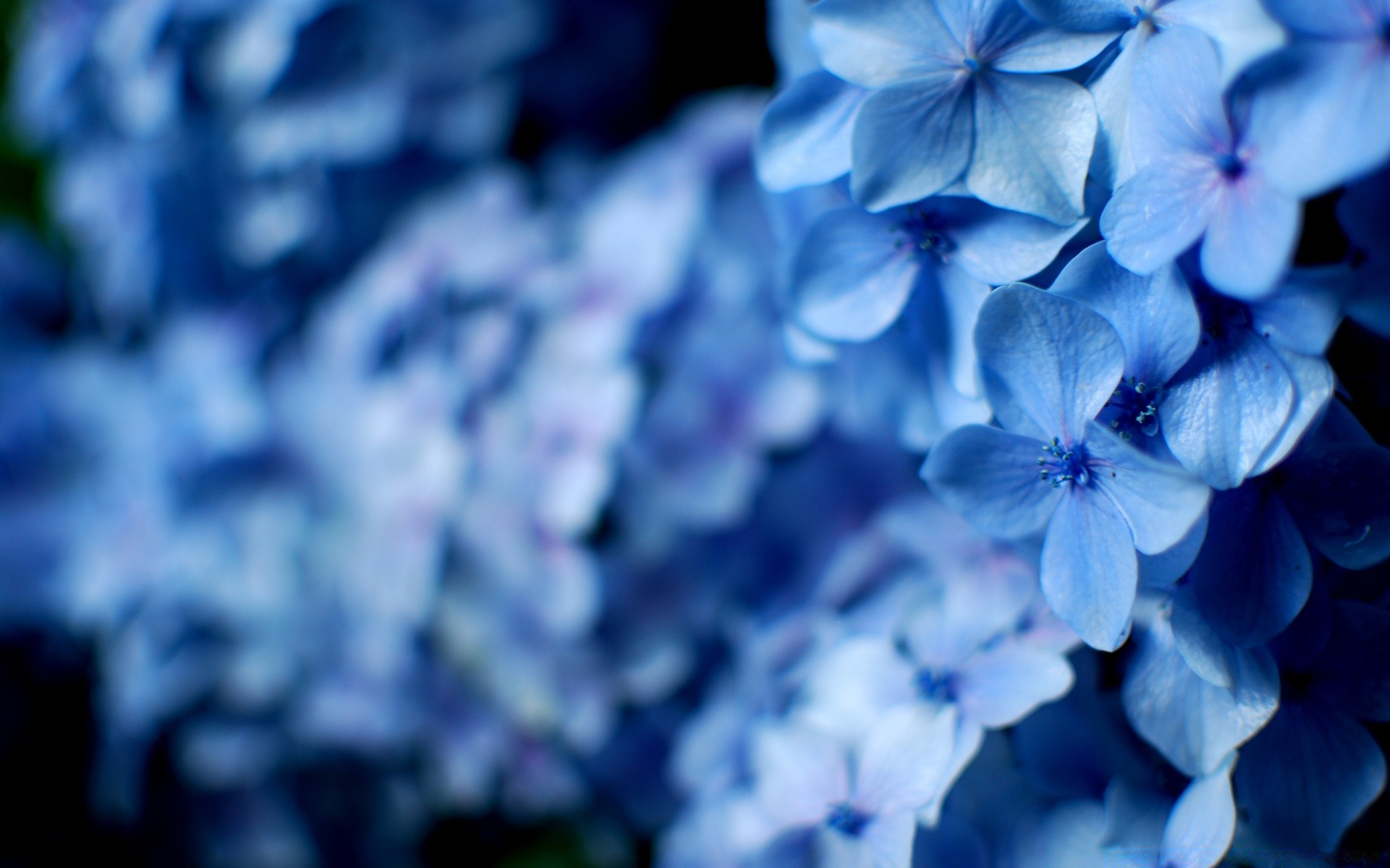 Blue Hydrangea Flowers Phone Wallpapers
