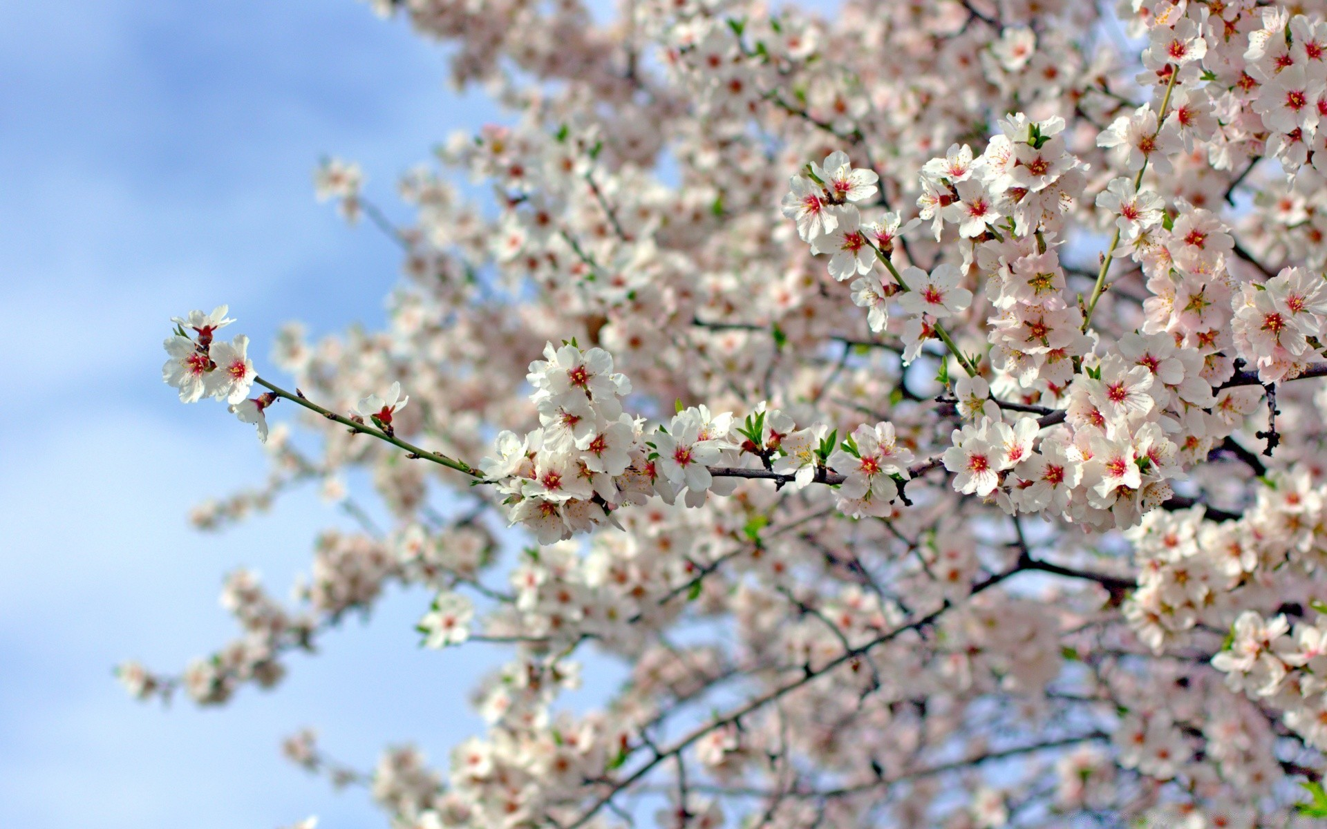 flowers cherry branch tree flower season nature apple plum flora bud springtime blooming growth close-up petal garden outdoors bright leaf sunny