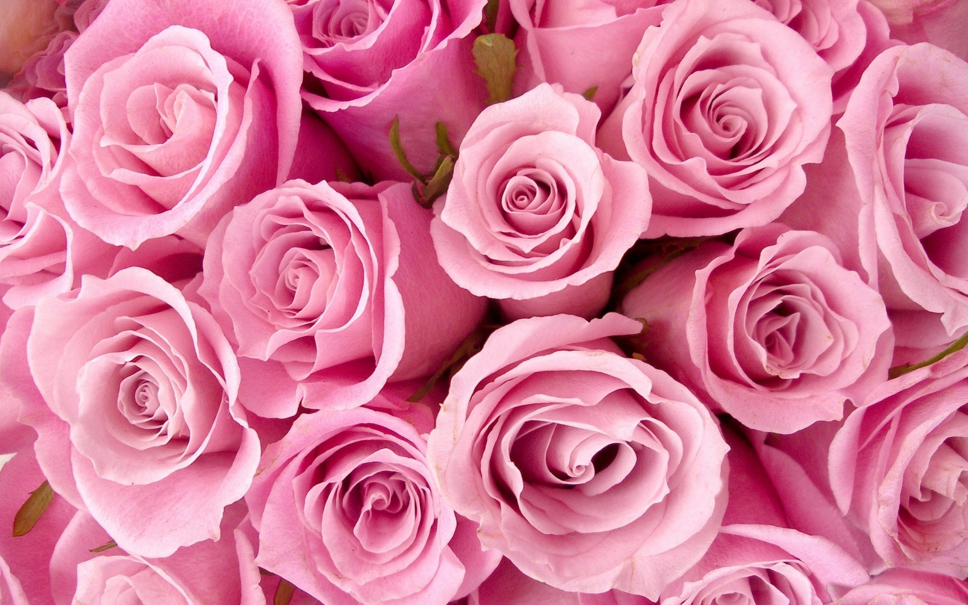 Pink Roses Close Up Android Wallpapers For Free