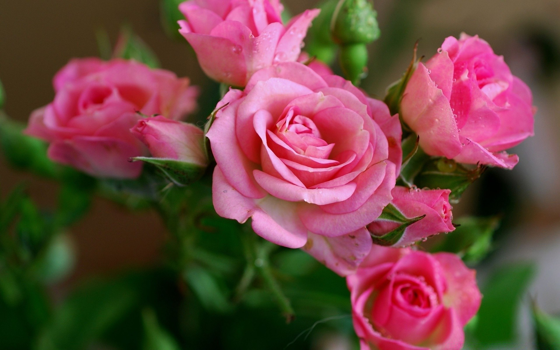 Pink Roses Branch Android Wallpapers For Free