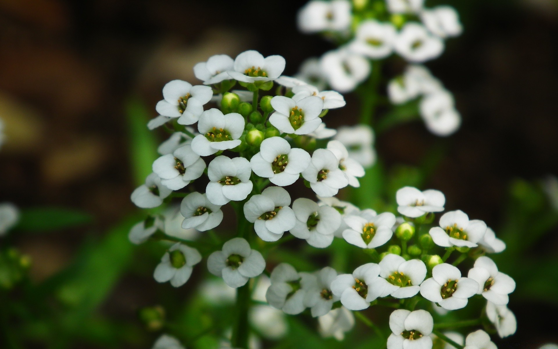 Small little white flowers android wallpapers for free mightylinksfo
