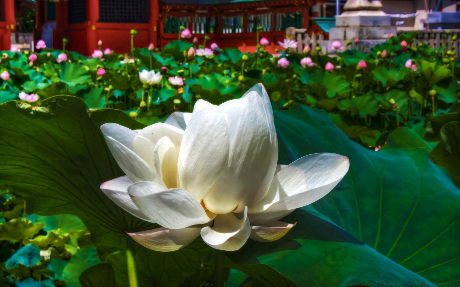 White Lotus Android Wallpapers For Free
