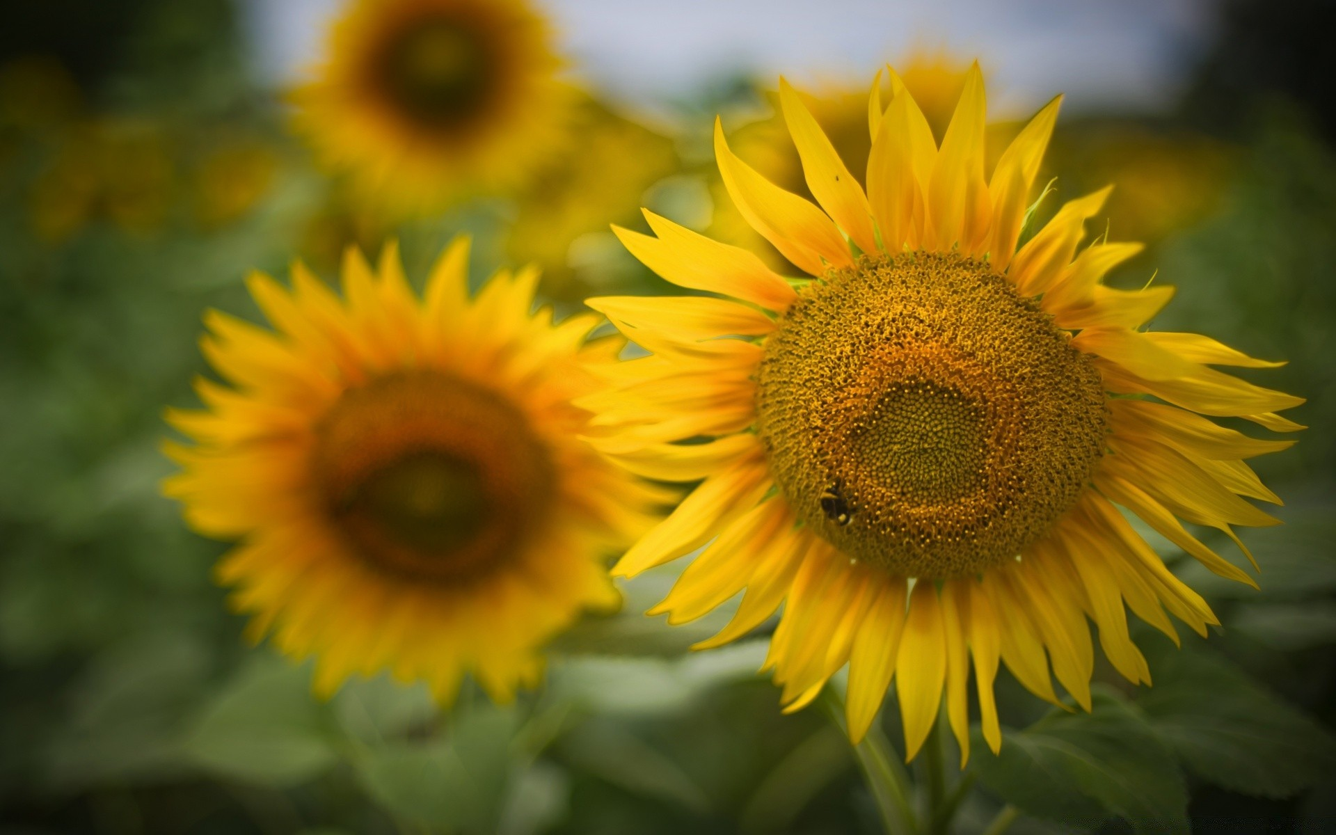 flowers nature flora flower sunflower summer leaf garden petal bright floral growth sun beautiful color blooming close-up fair weather vibrant field