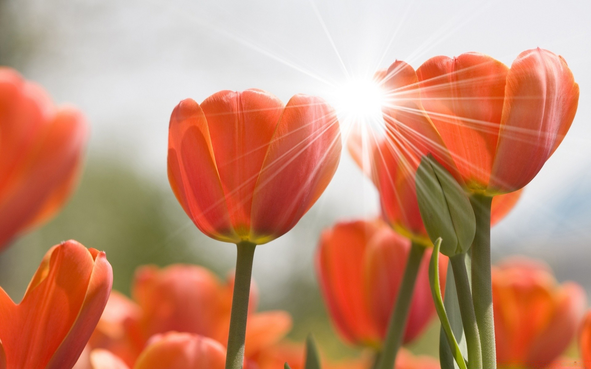 flowers nature tulip bright summer flower flora leaf color fair weather garden easter outdoors growth sun blur