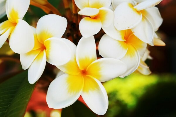 Exotic Flowers Plumerias