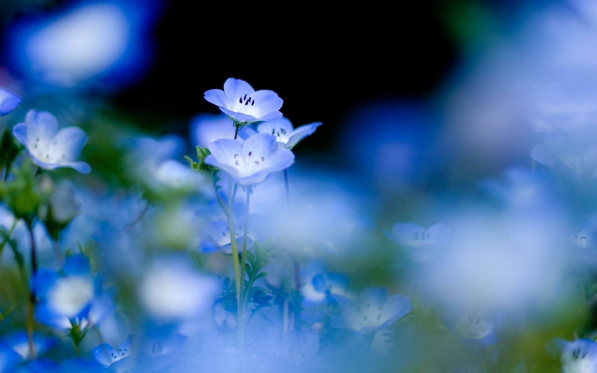 Blue Flowers Macro Android Wallpapers For Free