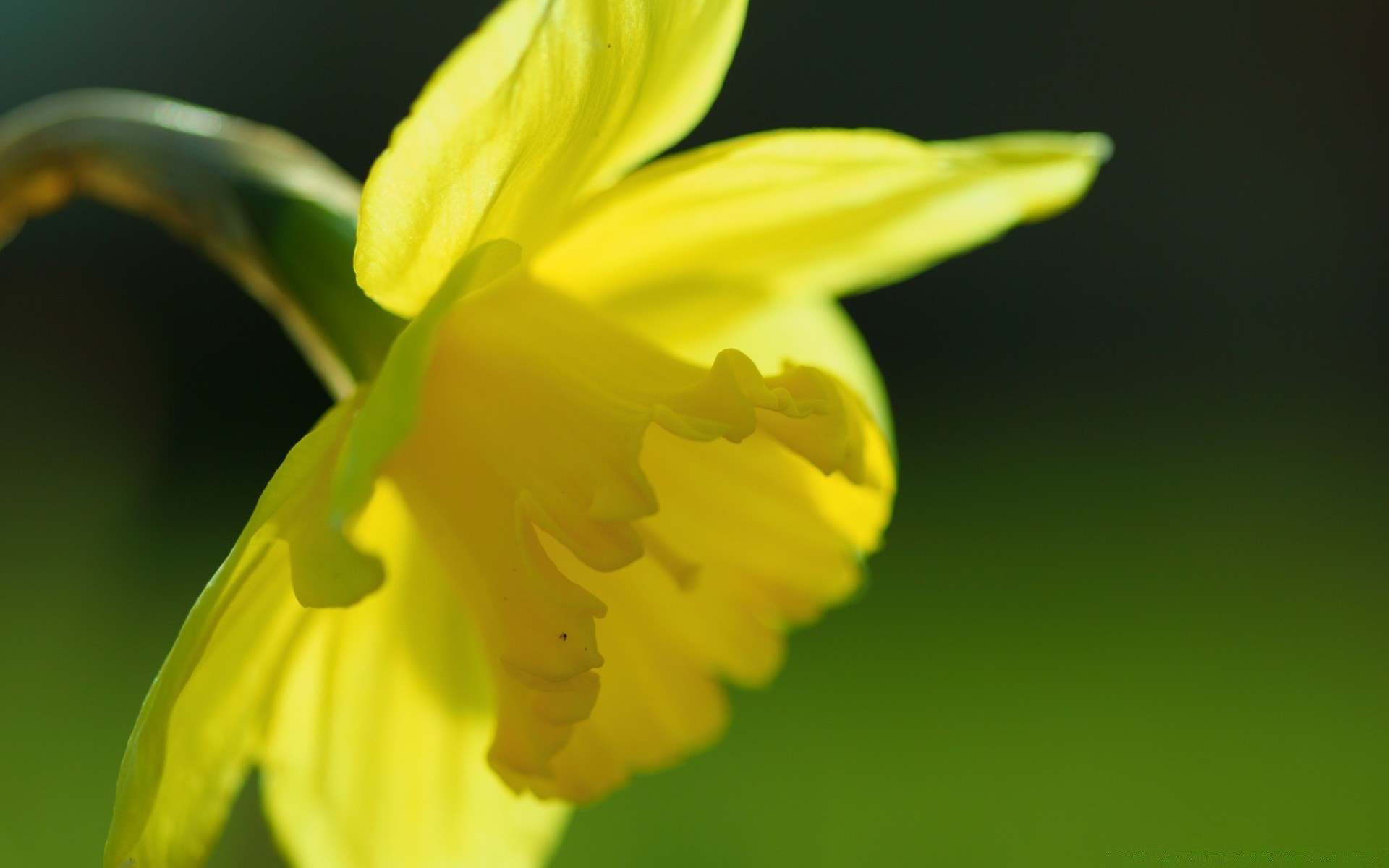 flowers flower nature flora daffodil leaf blur easter growth garden color bright floral narcissus