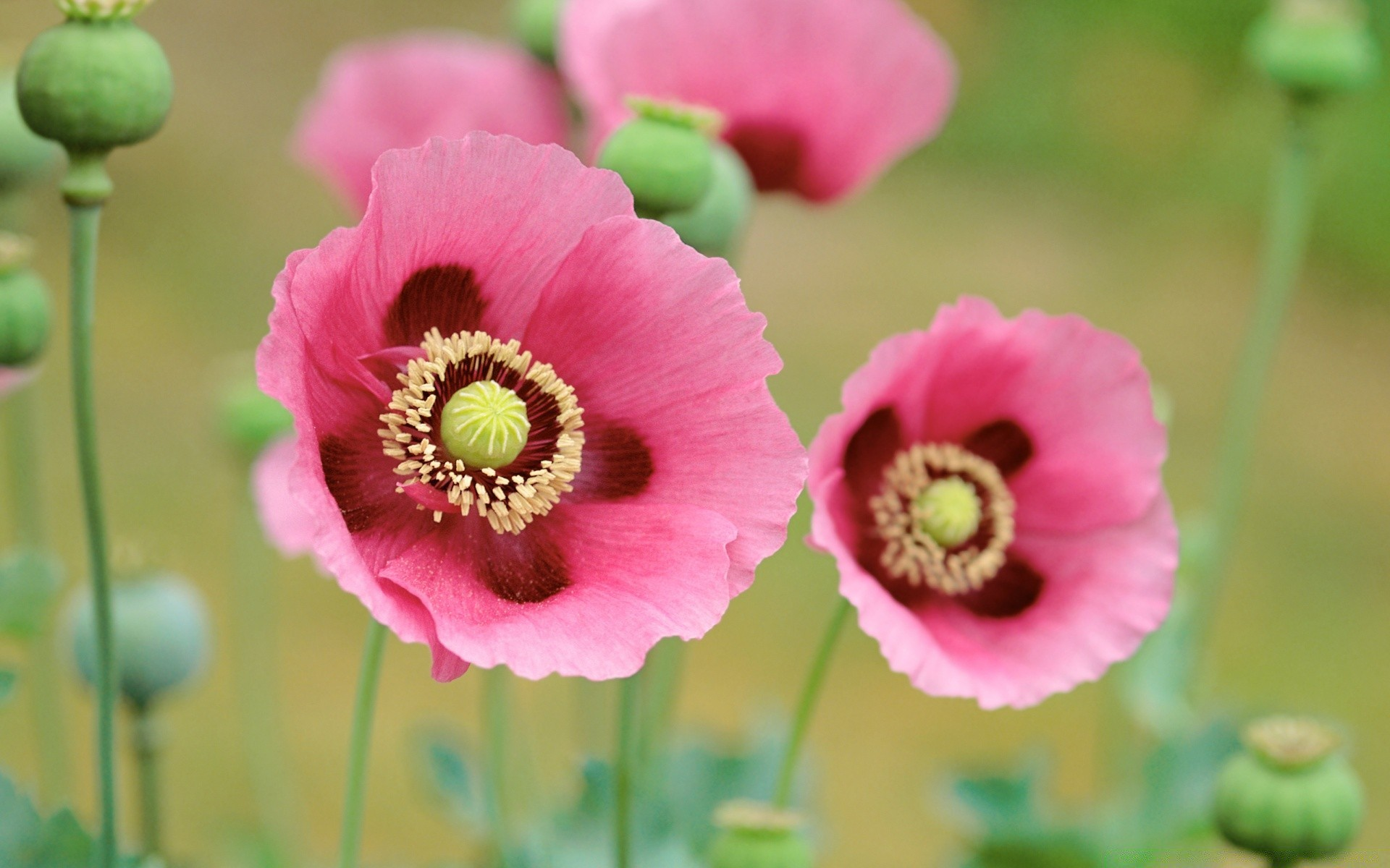 Pink Poppy Android Wallpapers For Free