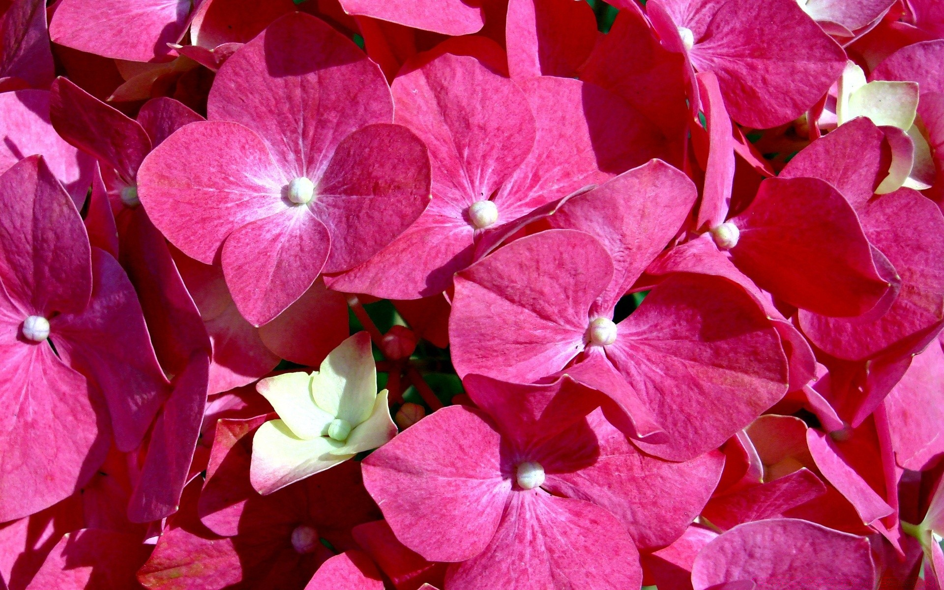Pink Flowers Desktop Wallpapers For Free