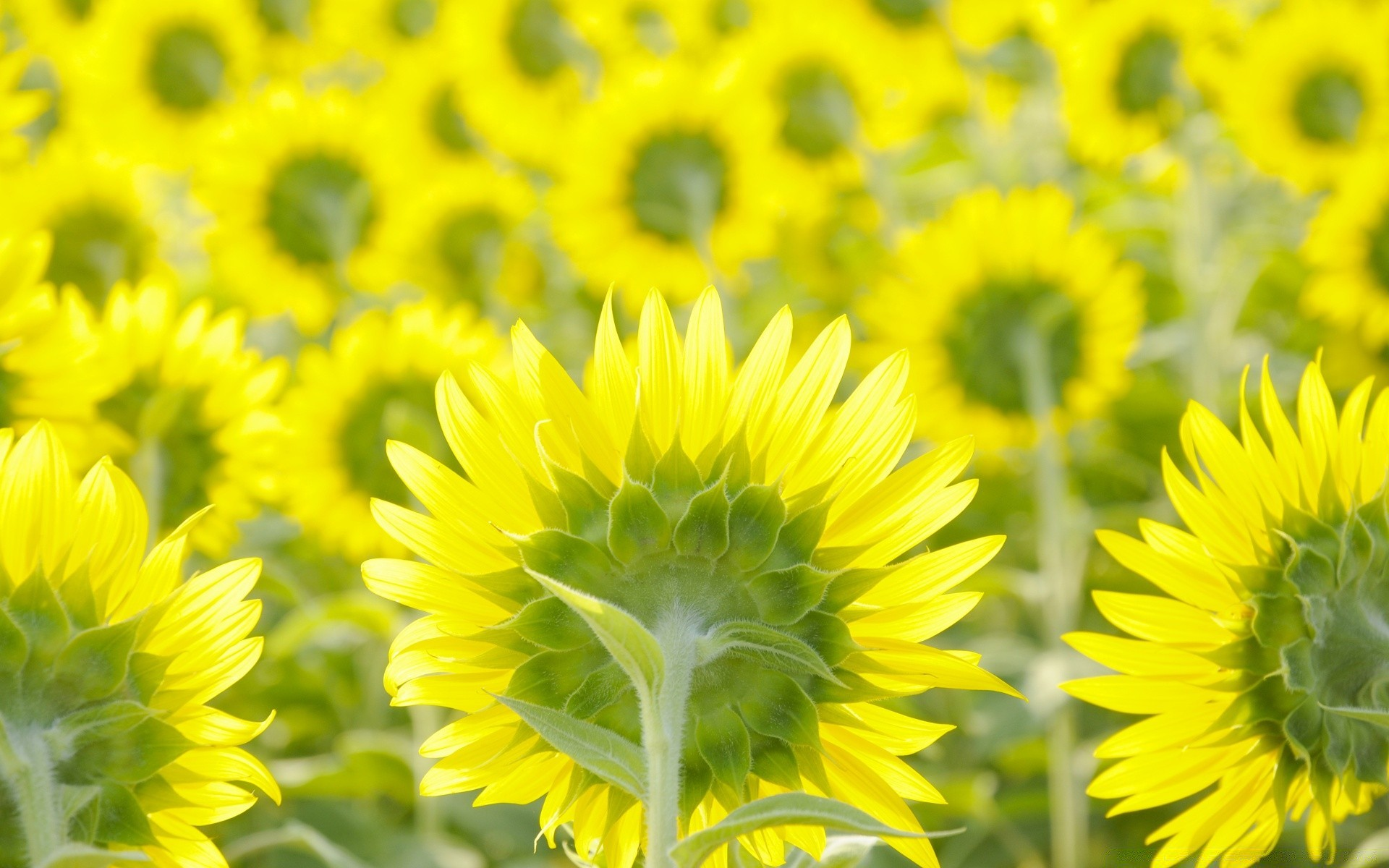 Sunflower Field Background Desktop Wallpapers For Free