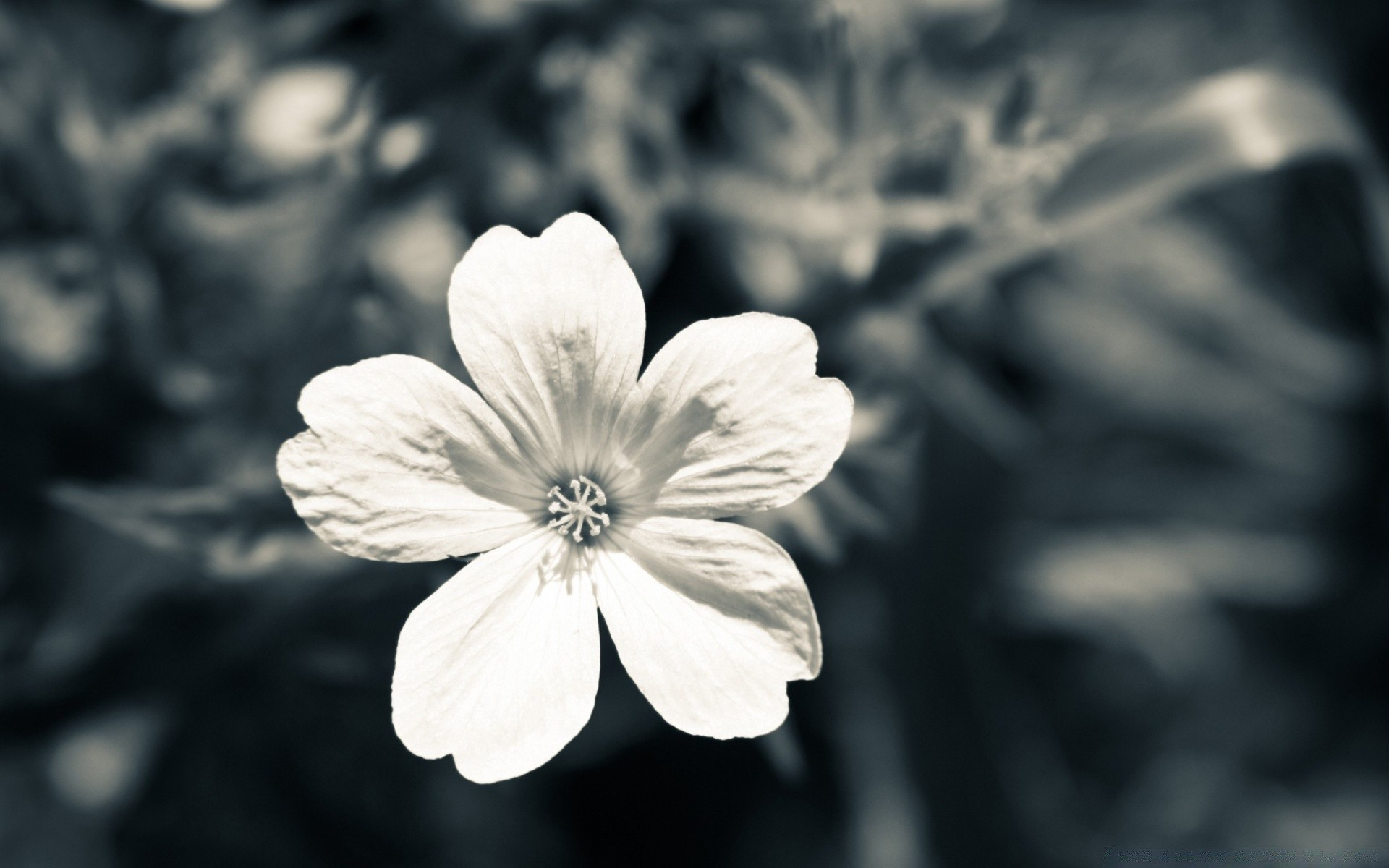 White flower iphone wallpapers for free mightylinksfo