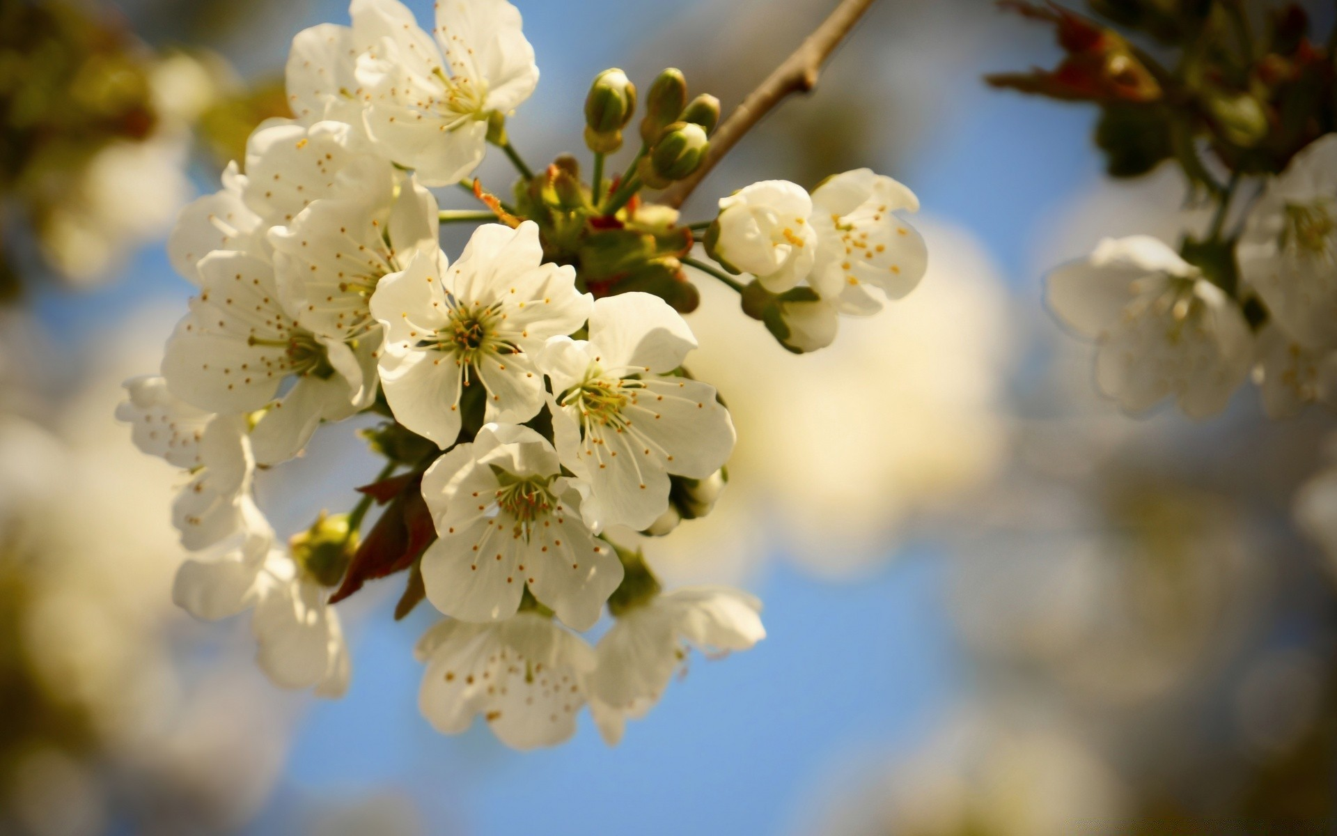 flowers nature cherry flower tree branch apple flora leaf growth garden blur fair weather outdoors summer season bud plum sun blooming