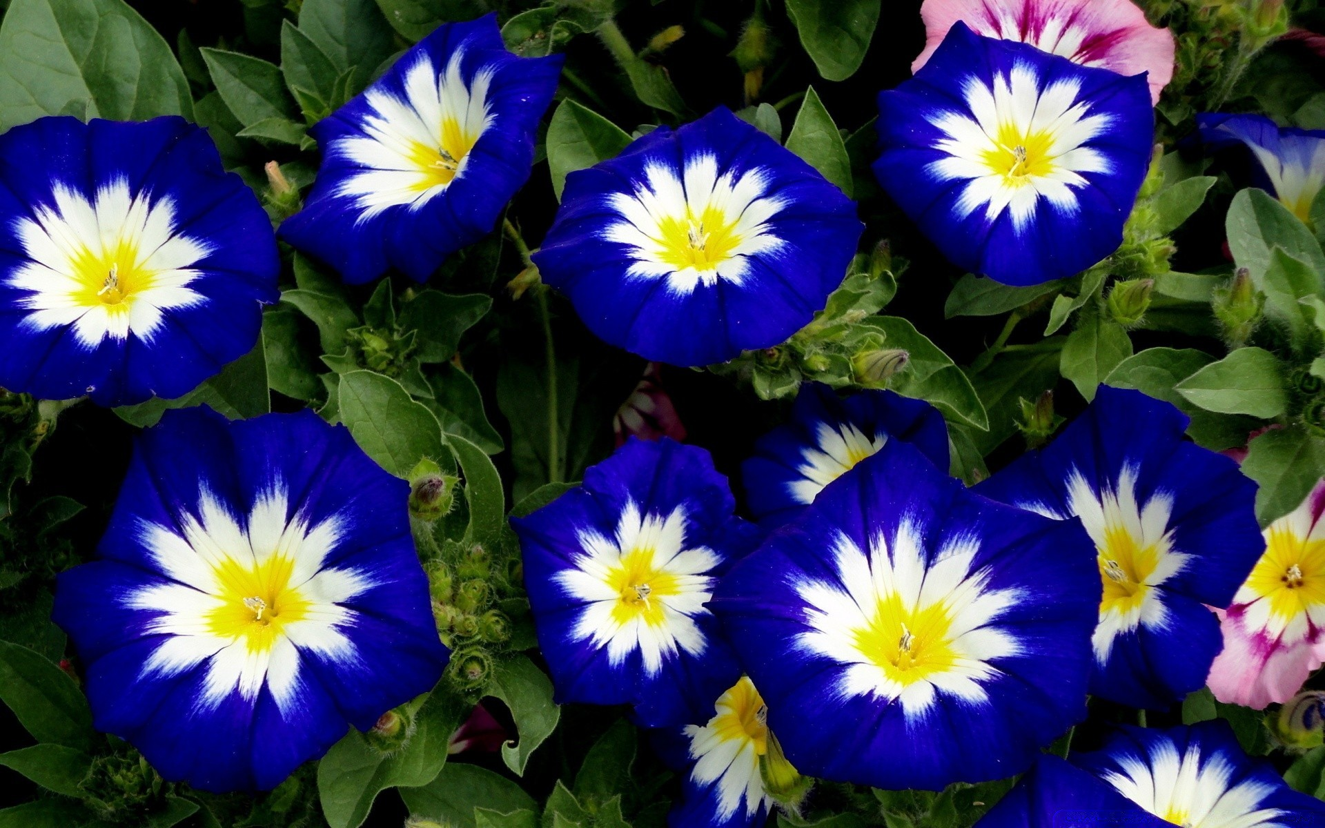 White Blue Flowers Android Wallpapers For Free
