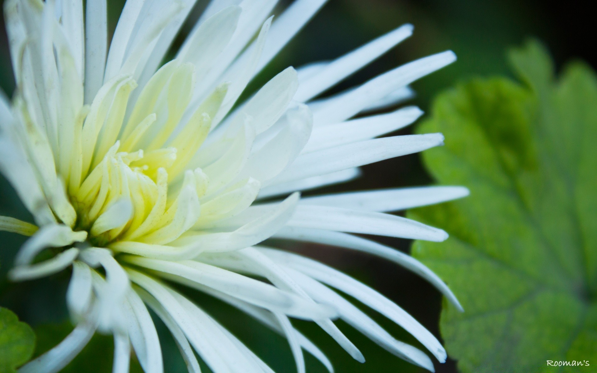 White Flowers With Thin Petals Desktop Wallpapers For Free