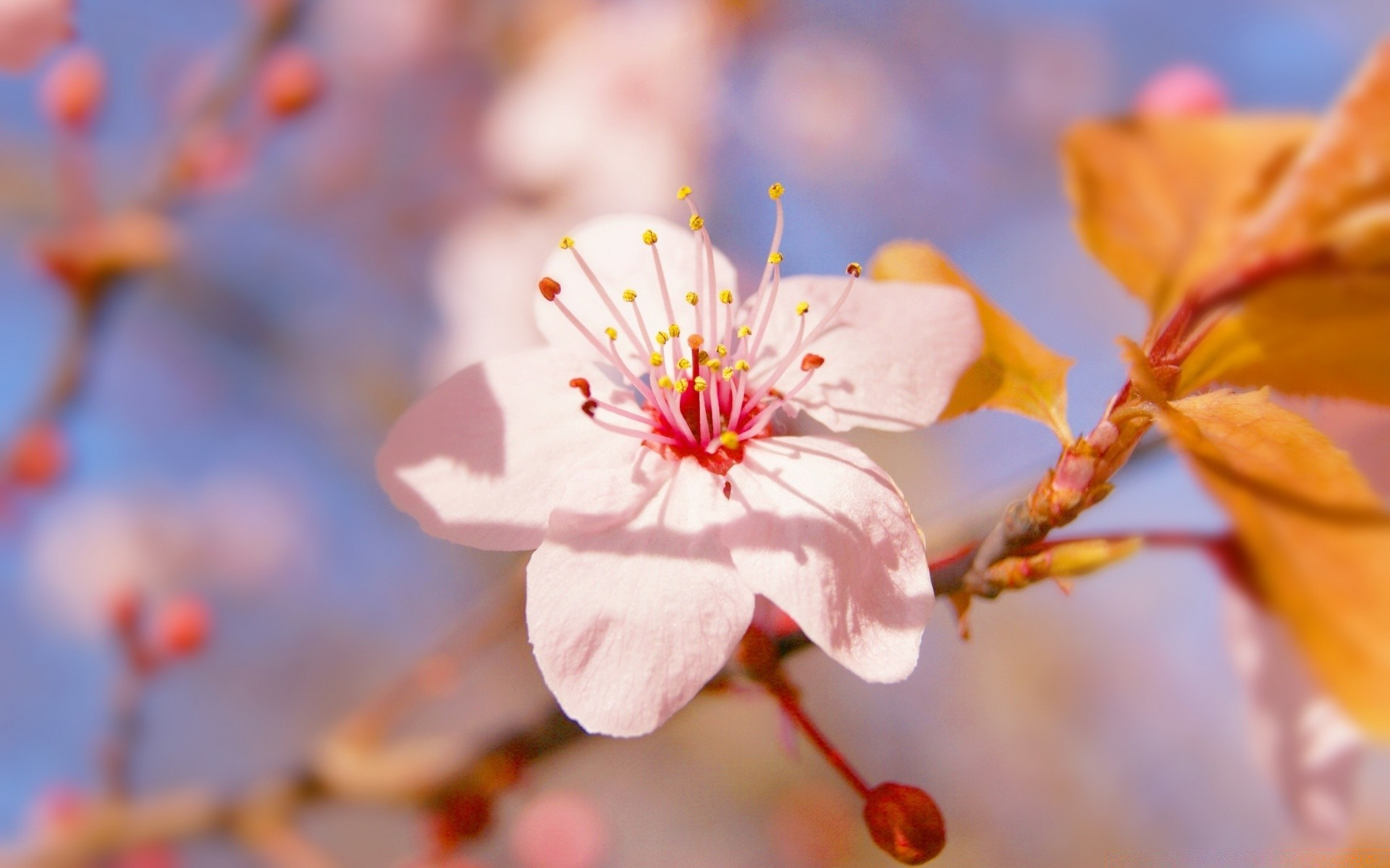 flowers nature flower flora leaf branch cherry garden outdoors tree season bright blur petal color growth blooming summer close-up bud