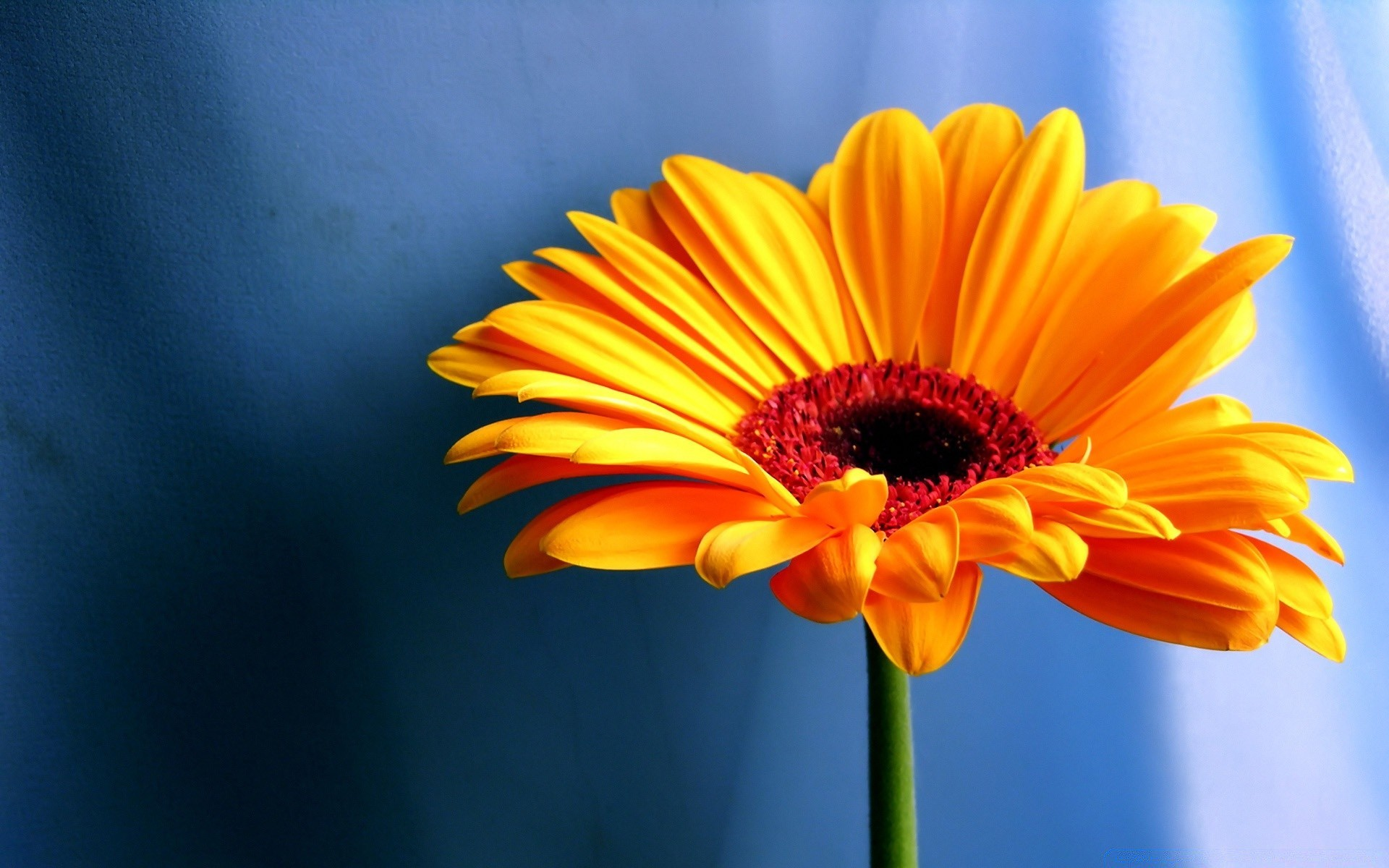 gerbera daisies flowers 18. android wallpapers for free.