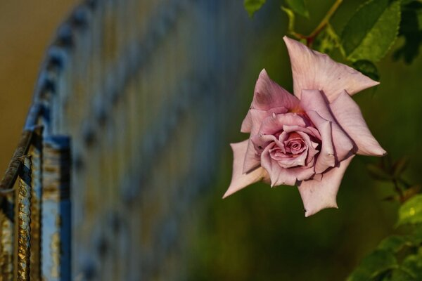 Pink Rose And Fence