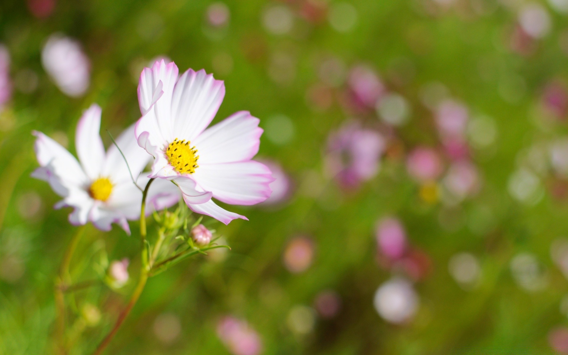 White cosmos flower with pink edges android wallpapers for free mightylinksfo