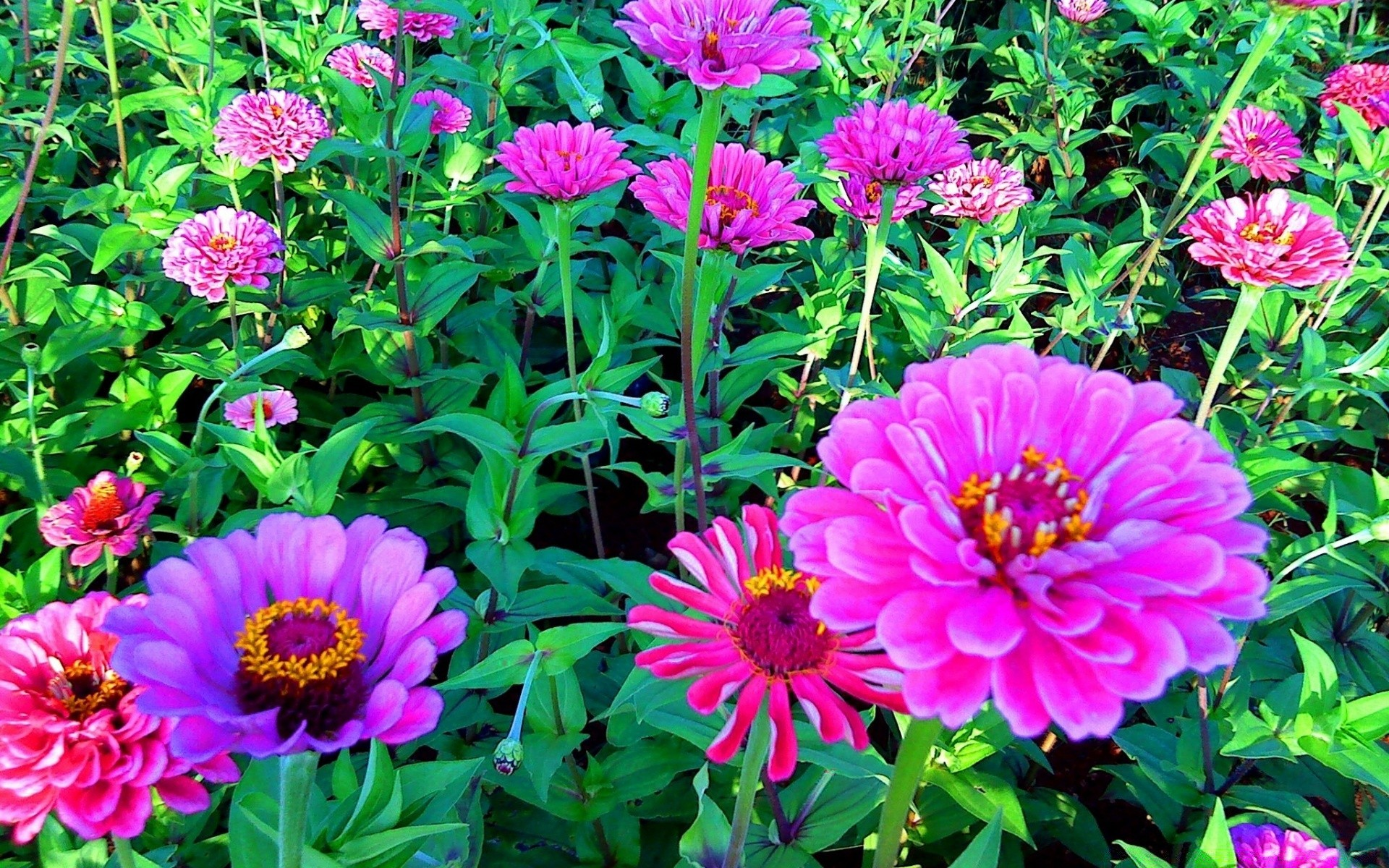 flowers flower garden nature flora summer floral blooming petal leaf color bright growth season botanical vibrant beautiful park dahlia close-up