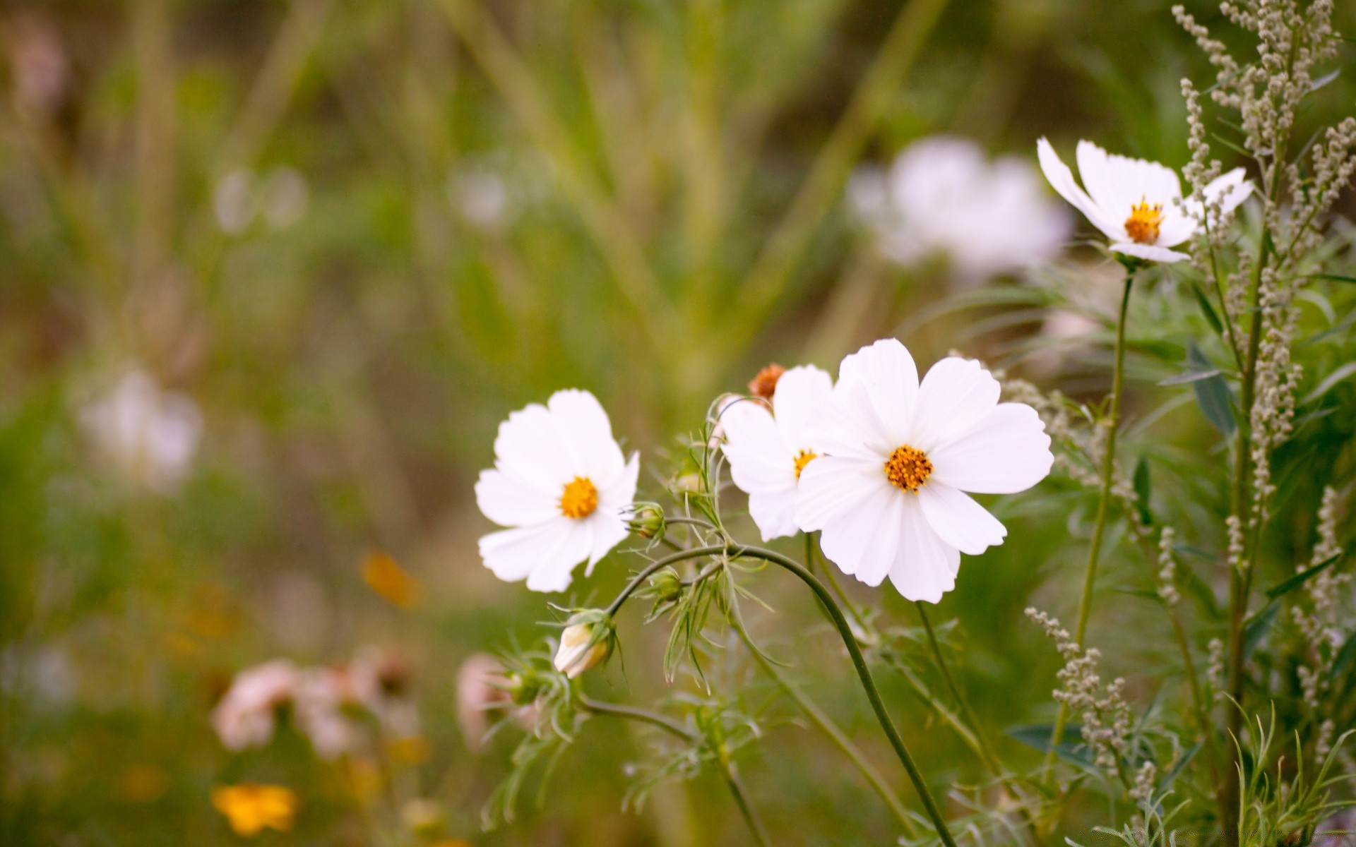 White Cosmos Flowers Android Wallpapers For Free
