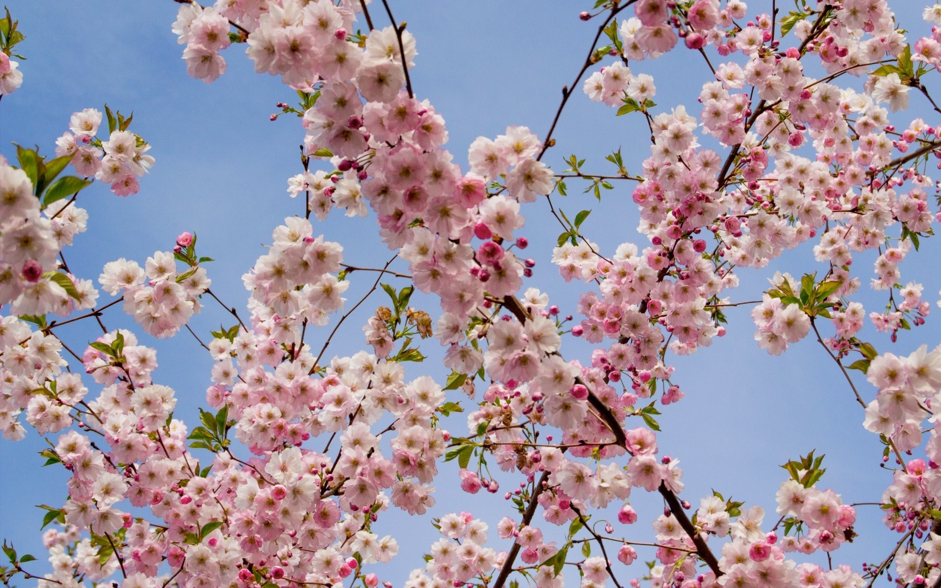 flowers flower cherry branch tree flora season blooming nature petal springtime floral bud garden close-up plum color growth bright apple