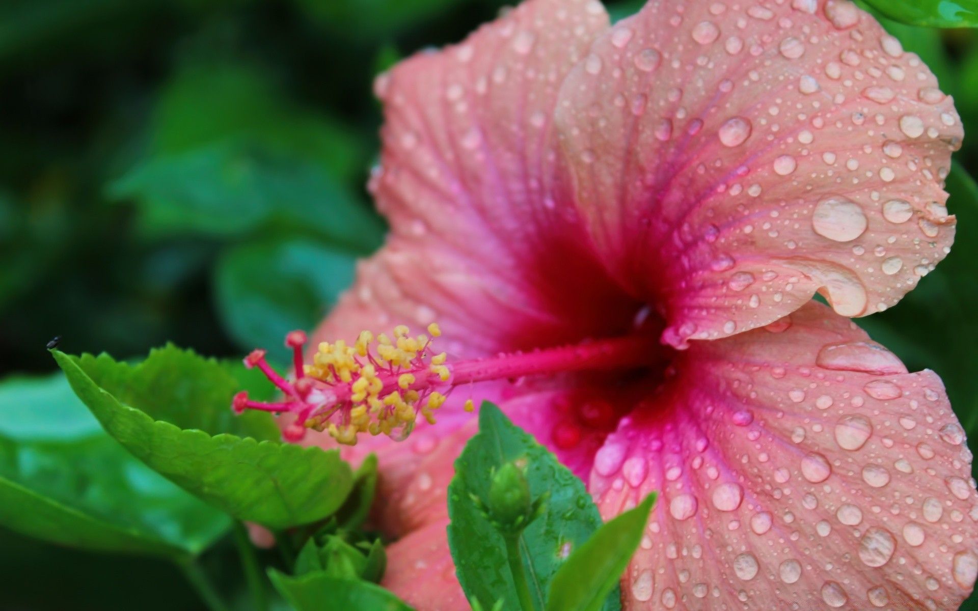 flowers flower nature flora leaf hibiscus garden summer close-up floral color petal blooming bright growth