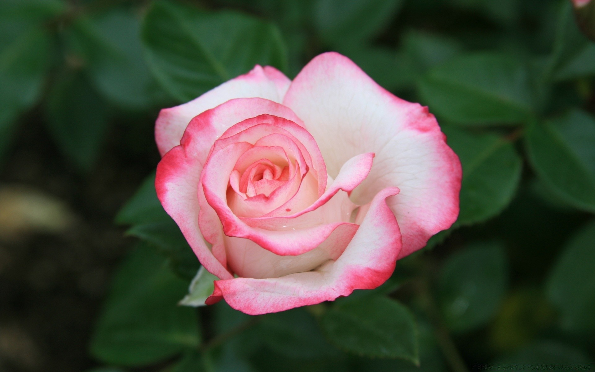 White Rose With Red Edges Android Wallpapers For Free