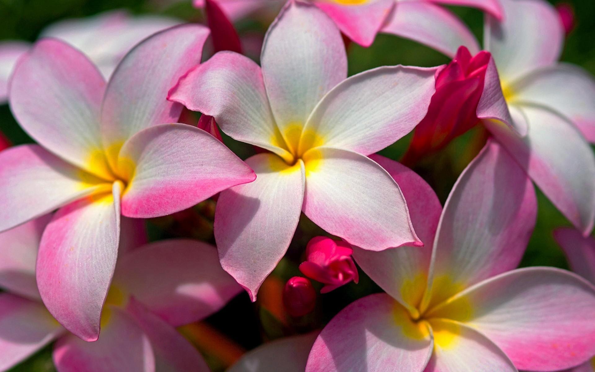 Hawaiian Plumeria Desktop Wallpapers For Free