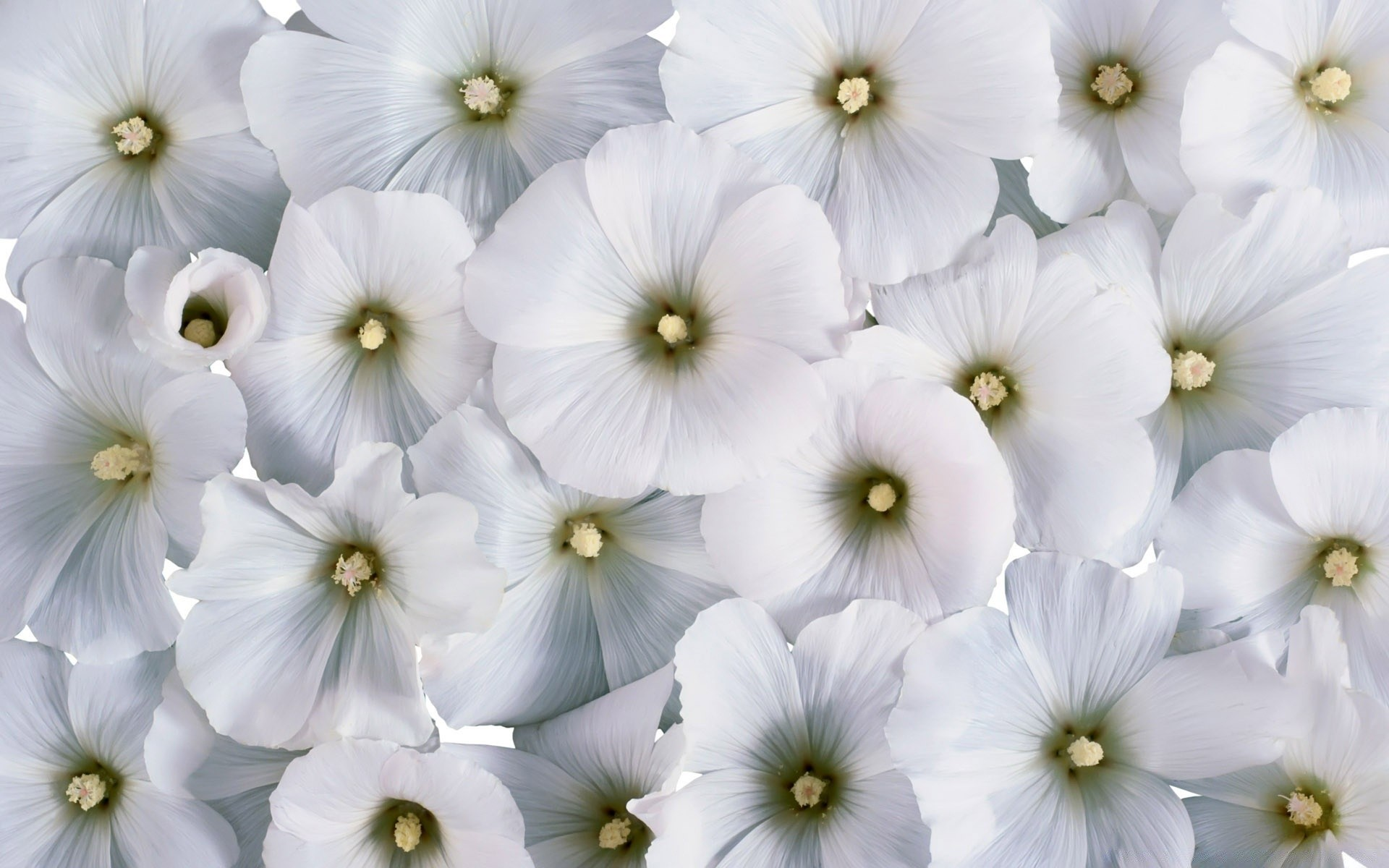 Soft white flowers iphone wallpapers for free mightylinksfo