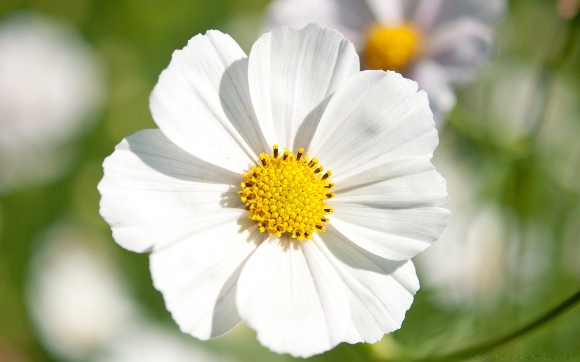 White Cosmos Flower Closeup Android Wallpapers For Free