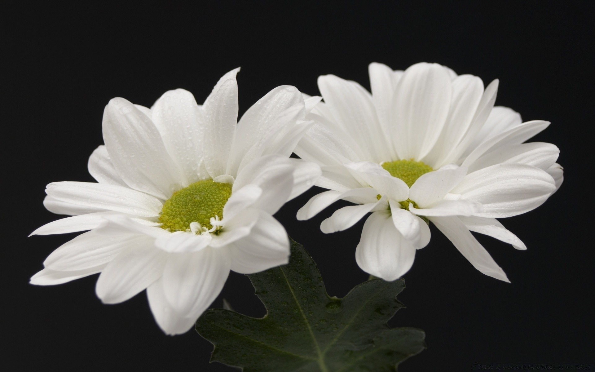 Two white flowers iphone wallpapers for free mightylinksfo