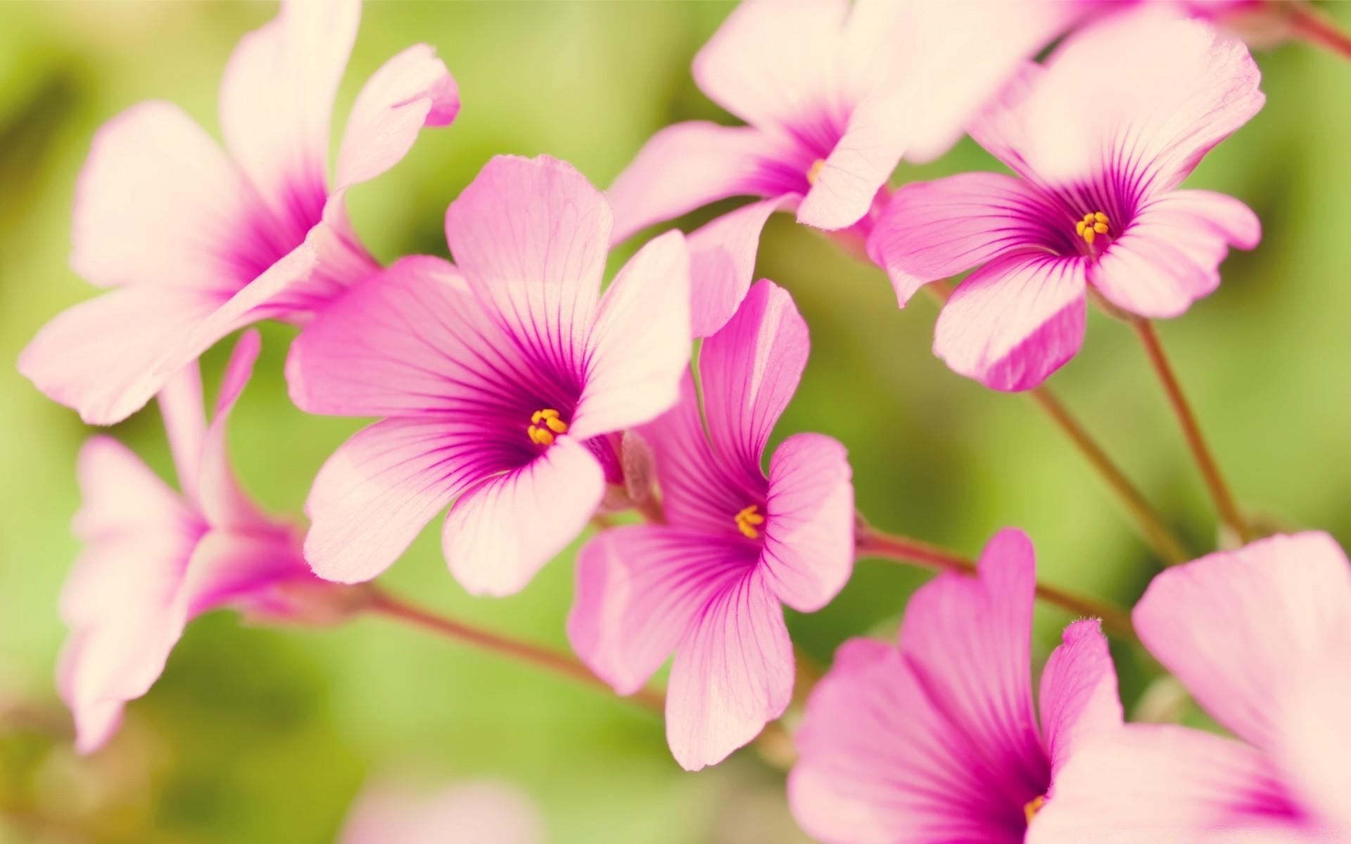 Pink flowers desktop wallpapers for free mightylinksfo