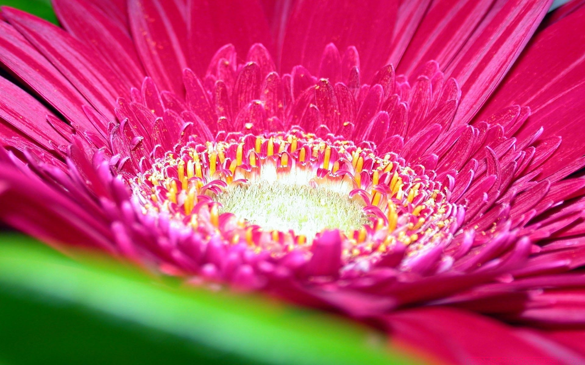 Gerbera Daisies Flowers 10 Android Wallpapers For Free