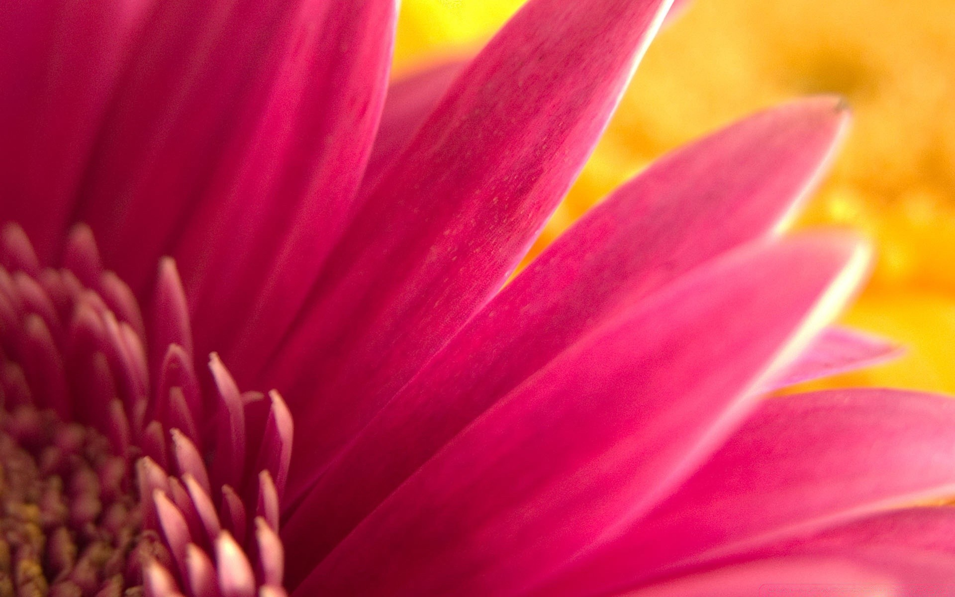 dark pink flowers - HD1920×1200