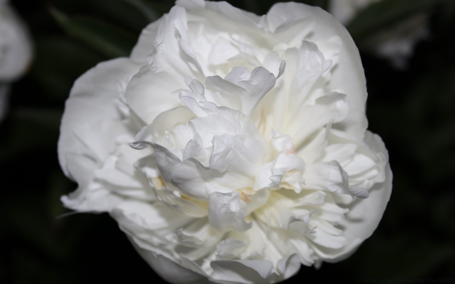 White Rose Just Like Silk Android Wallpapers For Free
