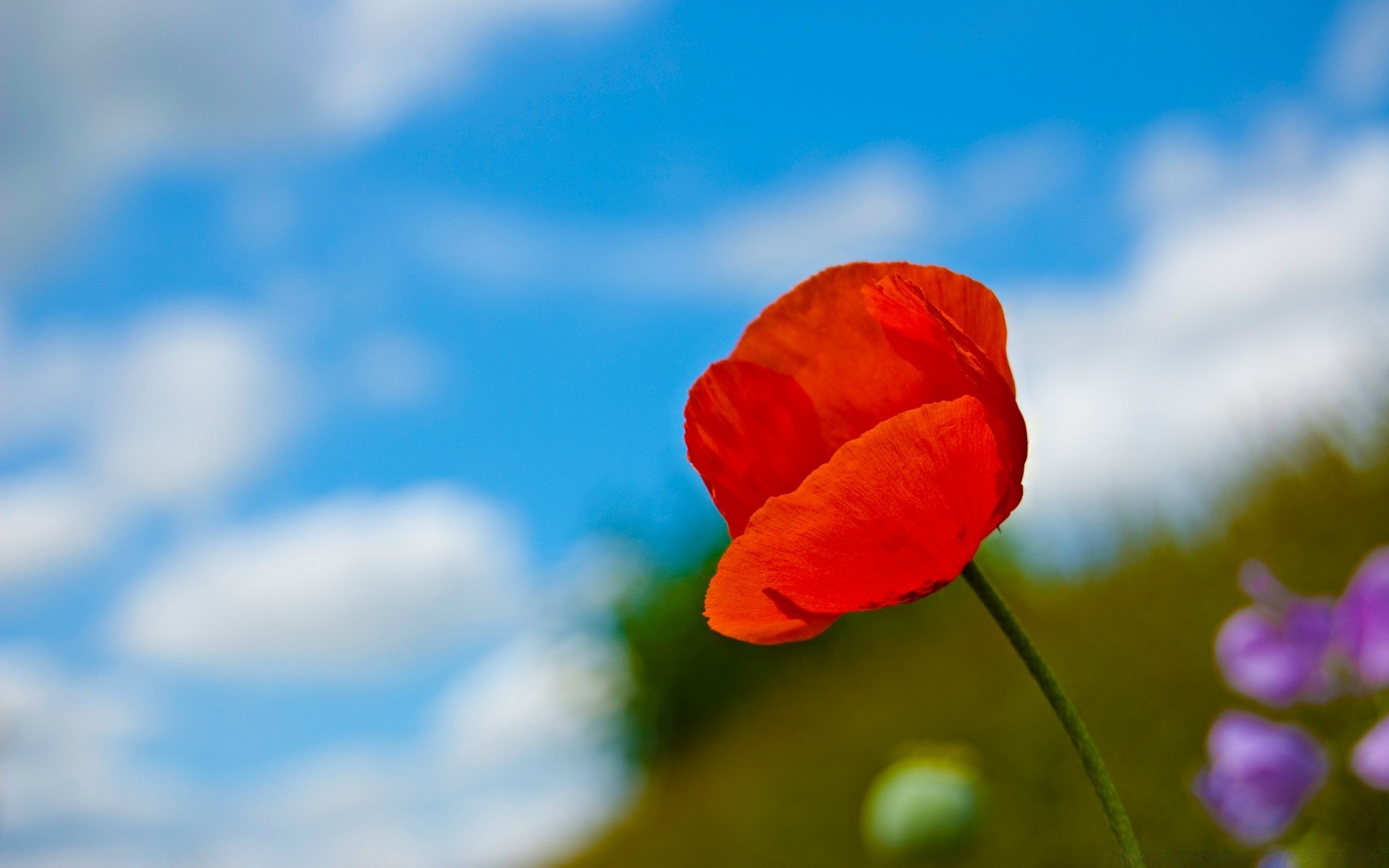A Lone Red Poppy. Android wallpapers for free.
